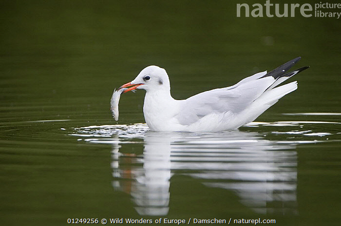 Black-headed gull (Chroicocephalus ridibundus) on water with fish in beak, Elbe Biosphere Reserve, Lower Saxony, Germany, September 2008  ,  BEHAVIOUR, BIRDS, dieter-damschen, EUROPE, FEEDING, FISH, GERMANY, GULLS, PROFILE, reflection, SEABIRDS, VERTEBRATES, WATER, WWE  ,  Wild Wonders of Europe / Damschen