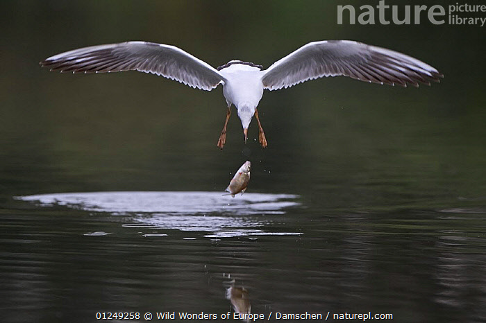 Black-headed gull (Chroicocephalus ridibundus) in flight having dropped fish, Elbe Biosphere Reserve, Lower Saxony, Germany, September 2008  ,  BEHAVIOUR, BIRDS, dieter-damschen, EUROPE, FISH, FLYING, GERMANY, GULLS, SEABIRDS, VERTEBRATES, WATER, WINGS, WWE  ,  Wild Wonders of Europe / Damschen