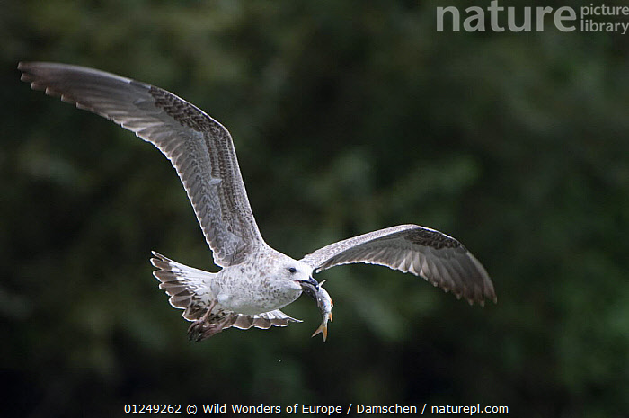 Juvenile Black-headed or Herring gull flying with fish in beak, Elbe Biosphere Reserve, Lower Saxony, Germany, September 2008  ,  BIOSPHERE,BIRDS,DIETER DAMSCHEN,ELBE,EUROPE,FLYING,GERMANY,GULLS,JUVENILE,RESERVE,SEABIRDS,STORKS,VERTEBRATES,WWE  ,  Wild Wonders of Europe / Damschen