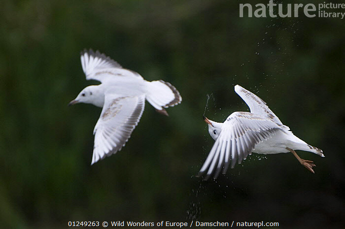 Two Black-headed gulls (Chroicocephalus ridibundus) in flight, one shaking its head, Elbe Biosphere Reserve, Lower Saxony, Germany, September 2008  ,  BEHAVIOUR, BIRDS, dieter-damschen, Droplets, EUROPE, FLYING, GERMANY, GULLS, RESERVE, SEABIRDS, VERTEBRATES, WATER, WEIRD, WWE  ,  Wild Wonders of Europe / Damschen