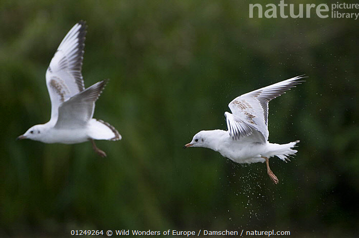 Two Black-headed gulls (Chroicocephalus ridibundus) in flight, Elbe Biosphere Reserve, Lower Saxony, Germany, September 2008  ,  BIRDS, dieter-damschen, Droplets, EUROPE, FLYING, GERMANY, GULLS, RESERVE, SEABIRDS, VERTEBRATES, WATER, WWE  ,  Wild Wonders of Europe / Damschen