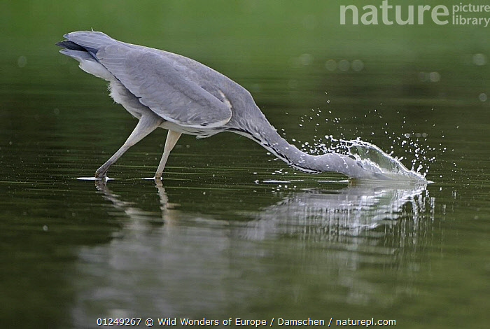 Grey heron (Ardea cinerea) with head in water fishing, Elbe Biosphere Reserve, Lower Saxony, Germany, September 2008  ,  ACTION,BEHAVIOUR,BIRDS,DIETER DAMSCHEN,EUROPE,FISHING,GERMANY,HERONS,RESERVE,SPRAY,VERTEBRATES,WATER,WWE  ,  Wild Wonders of Europe / Damschen