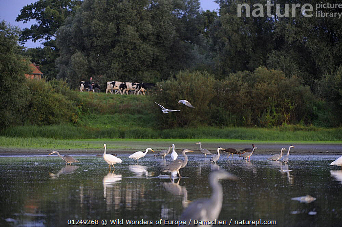 Black storks (Ciconia nigra) with Grey herons (Ardea cincerea) and Great egrets (Casmerodius albus) in river, with cows and a person in the distance, Elbe Biosphere Reserve, Lower Saxony, Germany, September 2008  ,  BIRDS,CATTLE,DIETER DAMSCHEN,EGRETTA ALBA,EUROPE,GERMANY,GREAT WHITE HERON,GROUPS,HERONS,MIXED SPECIES,PEOPLE,RESERVE,STORKS,VERTEBRATES,WATER,WWE  ,  Wild Wonders of Europe / Damschen