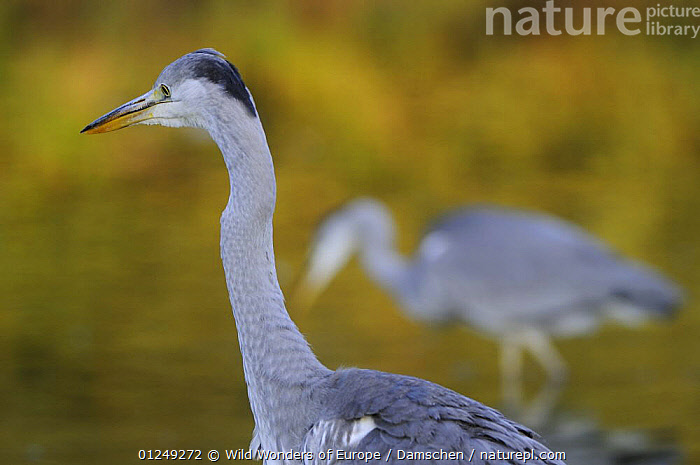 Grey heron (Ardea cinerea) Elbe Biosphere Reserve, Lower Saxony, Germany, September 2008  ,  BIRDS,DIETER DAMSCHEN,EUROPE,GERMANY,HERONS,RESERVE,VERTEBRATES,WWE  ,  Wild Wonders of Europe / Damschen