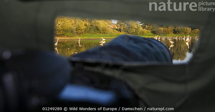 View over camera out of hide towards lake with Black storks (Ciconia nigra) Grey herons (Ardea cinerea) and Great egrets (Ardea alba)  Elbe Biosphere Reserve, Lower Saxony, Germany, September 2008  ,  BIRDS, cameras, dieter-damschen, egretta alba, EUROPE, GERMANY, great white heron, GROUPS, HERONS, LAKES, LANDSCAPES, MIXED-SPECIES, PHOTOGRAPHY, STORKS, VERTEBRATES, WWE  ,  Wild Wonders of Europe / Damschen