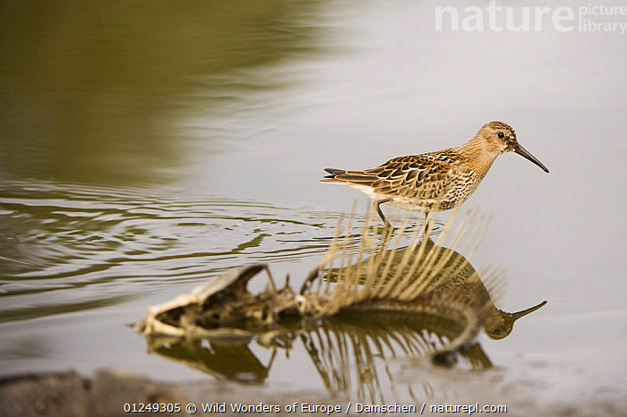 Dunlin {Calidris alpina} walking past fish skeleton, Elbe Biosphere Reserve, Lower Saxony, Germany, September 2008  ,  BIRDS,BONES,DEATH,DIETER DAMSCHEN,EUROPE,FISH,GERMANY,SANDPIPERS,SKELETONS,VERTEBRATES,WADERS,WATER,WWE  ,  Wild Wonders of Europe / Damschen