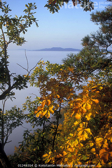 Oak forests of (Quercus mongolica) at dawn in the autumn, Bikin River and the Sikhote-Alin Mountain Range, Ussuriland, Primorsky, Far East Russia, October 2006  ,  ASIA,AUTUMN,FOREST,LANDSCAPES,MIST,RUSSIA,TAIGA,VERTICAL,WOODLANDS  ,  Konstantin Mikhailov