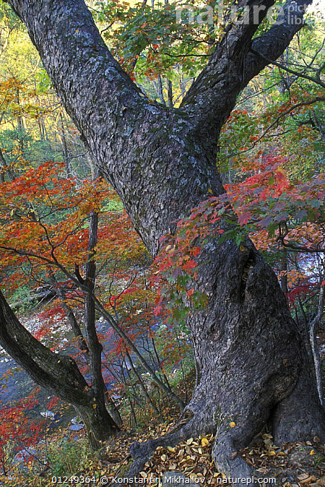 Iron birch tree on the bank of the river Kedrovaya in autumn, Kedrovaya State Nature Reserve in autumn, Ussuriland, Primorsky, Far East Russia, Octrober 2006  ,  ASIA,AUTUMN,FORESTS,RUSSIA,TAIGA,VERTICAL,WOODLANDS  ,  Konstantin Mikhailov