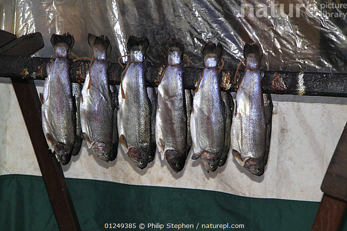 Trout (Salvelinus sp) tied together by the tail ready to be smoked. Moray Firth, Scotland, July 2009.  ,  COOKING,EUROPE,FISH,FISHERIES,FRESHWATER,GROUPS,OSTEICHTHYES,SCOTLAND,SMOKING,TRADITIONAL,TROUT,UK,VERTEBRATES,PROCEDURES, United Kingdom, United Kingdom  ,  Philip Stephen