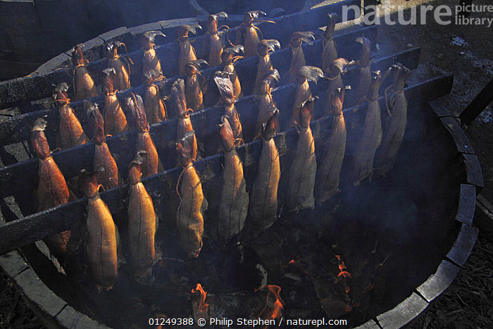 "Smoked Haddock, ""Arbroath Smokies"" being cured in a traditional barrel smoking kiln. Moray Firth, Scotland. July 2009.  ,  barrels,COD,COOKING,EUROPE,FISH,FISHERIES,GROUPS,MARINE,OSTEICHTHYES,SCOTLAND,Smoking,TRADITIONAL,UK,VERTEBRATES,PROCEDURES, United Kingdom, United Kingdom  ,  Philip Stephen"