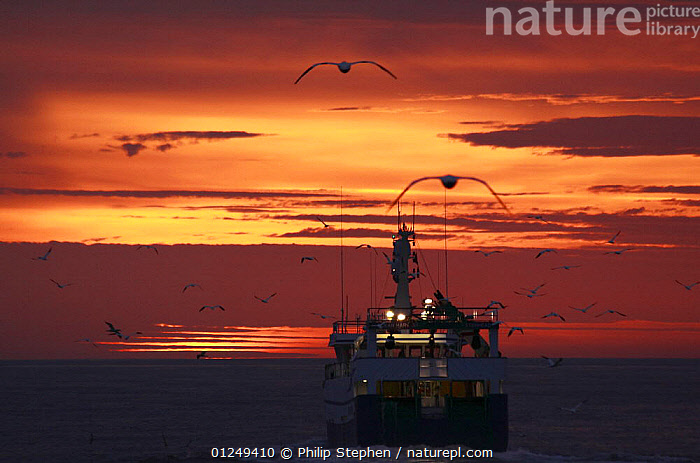 North Sea trawler heading west at dusk, followed by seabirds, September 2009. Property released.  ,  BOATS,DUSK,EUROPE,FISHERIES,FISHING BOATS,NIGHT,North Sea,REAR VIEWS,SEABIRDS,SILHOUETTES,SUNSET,TRAWLERS, WORKING-BOATS , WORKING-BOATS, WORKING-BOATS  ,  Philip Stephen