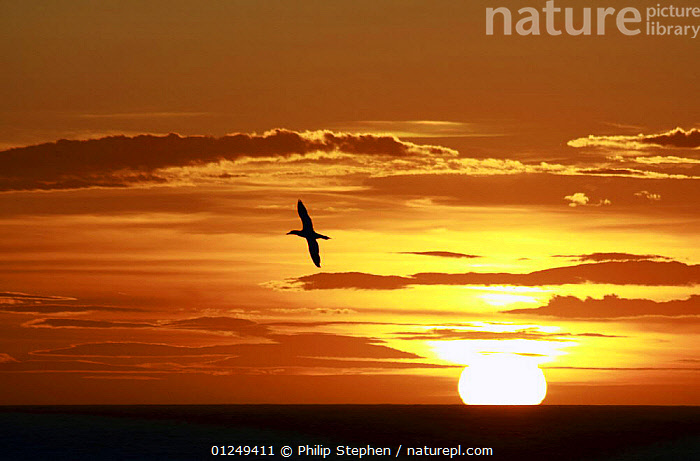 Seabird and setting sun on the North Sea, September 2009.  ,  BIRDS,EUROPE,North Sea,ORANGE,SEABIRDS,SILHOUETTES,SKY,SUN,SUNSET  ,  Philip Stephen