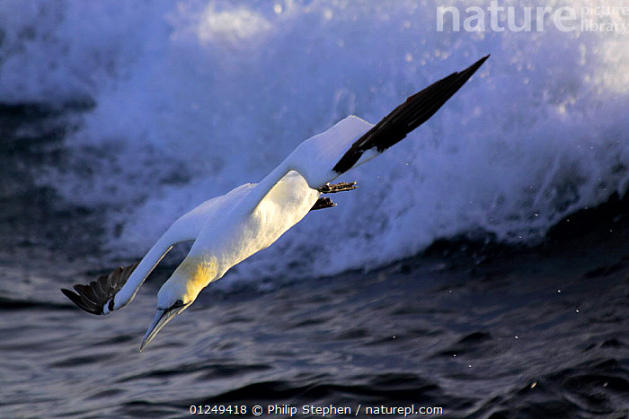 Northern Gannet (Morus bassanus) on the North Sea, with breaking wave.  ,  bassana, BIRDS, DIVING, EUROPE, FLYING, GANNETS, SEABIRDS, SPRAY, VERTEBRATES, WAVES  ,  Philip Stephen