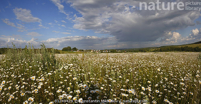 Chamomile meadows flowering in the Oka River valley, Moscow Oblast, Russia, June 2008  ,  EUROPE,FLOWERS,LANDSCAPES,PLANTS,RUSSIA,STEPPE,SUMMER,Grassland  ,  Konstantin Mikhailov