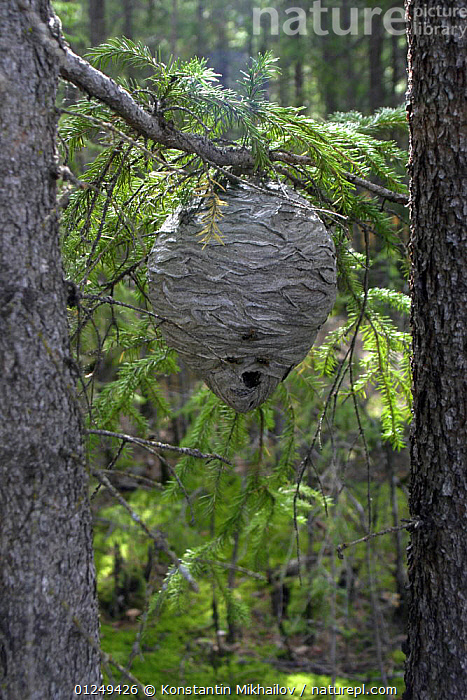 Wasp's nest (Vespula sp) in forest, Russia  ,  EUROPE,HYMENOPTERA,INSECTS,INVERTEBRATES,NESTS,RUSSIA,VERTICAL,WASPS,WOODLANDS  ,  Konstantin Mikhailov
