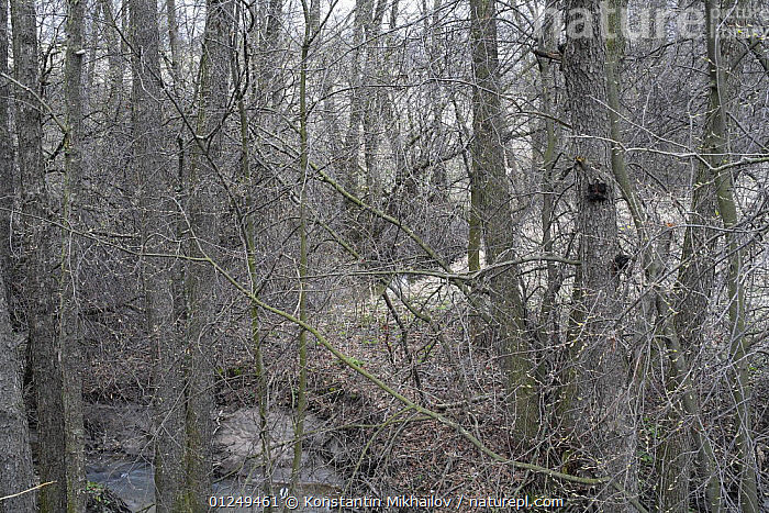 Riparian forest with Common Alder {Alnus glutinosa} and woodland stream, Central Russia. Spring, April 2007.  ,  BETULACEAE,DICOTYLEDONS,EUROPE,FOREST,HABITAT,PLANTS,RUSSIA,STREAMS,TREES,WOODLANDS  ,  Konstantin Mikhailov