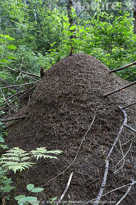 Large anthill of the Wood ant {Formica rufa} Sokolsky, Vologda Oblast, Russia, July 2008  ,  ANTS,ARTHROPODS,EUROPE,FOREST,HYMENOPTERA,INSECTS,INVERTEBRATES,NESTS,RUSSIA,VERTICAL,WOODLANDS  ,  Konstantin Mikhailov