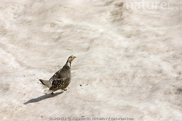 Caucasian Snowcock (Tetraogallus caucasicus) on snow in its native habitat. Teberdinsky Nature Preserve, Caucasian highlands, Western Caucasus, Russia, July 2006  ,  BIRDS, EUROPE, GALLIFORMES, PARTRIDGE, RUSSIA, VERTEBRATES  ,  Konstantin Mikhailov
