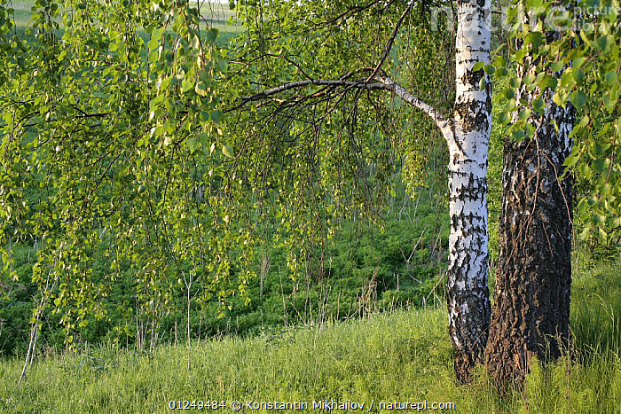 White birch trees (Betula pubescens) Moscow Oblast, Russia, May 2007  ,  BETULACEAE,DICOTYLEDONS,EUROPE,PLANTS,RUSSIA,SPRING,TRUNKS,WOODLANDS  ,  Konstantin Mikhailov