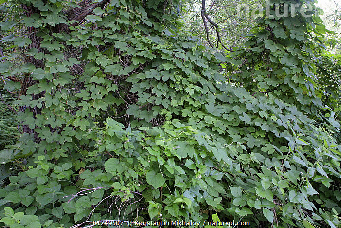 Riparian forest with climbing Hop plants, Moscow Oblast, Central Russia, Jule 2007  ,  CLIMBERS,EUROPE,GREEN,LEAVES,PLANTS,RUSSIA  ,  Konstantin Mikhailov