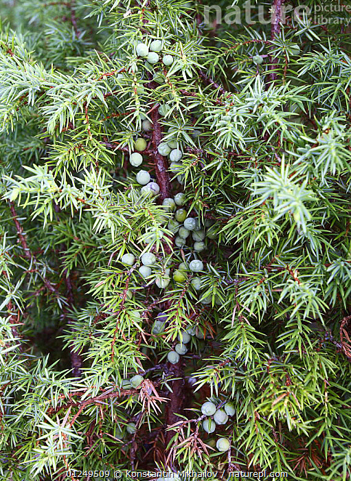 Common Juniper bush (Juniperus communis) Russky Sever NP, Vologda Oblast, N Russia, July 2008  ,  BERRIES,CONIFERS,CUPRESSACEAE,EUROPE,GYMNOSPERMS,PLANTS,RUSSIA,VERTICAL  ,  Konstantin Mikhailov