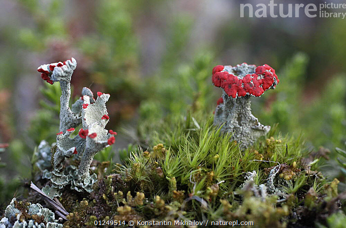 Mosses and Cladonia lichens growing in Russky Sever NP, Vologda Oblast, N Russia, October 2008  ,  EUROPE,LICHEN,MOSS,NP,PLANTS,RED,RESERVE,RUSSIA,National Park  ,  Konstantin Mikhailov