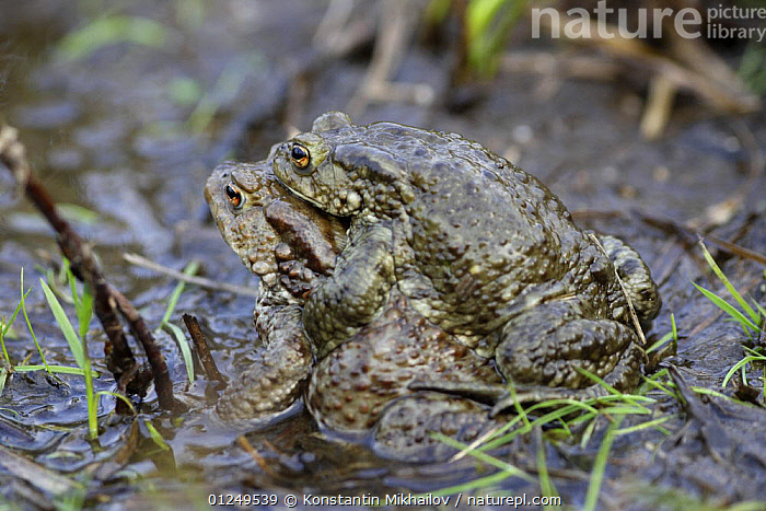 Common european toad (Bufo bufo) pair in amplexus, Central Russia, May  ,  AMPHIBIANS,ANURA,EUROPE,MALE FEMALE PAIR,MATING BEHAVIOUR,PONDS,RUSSIA,TOADS,VERTEBRATES,Reproduction  ,  Konstantin Mikhailov