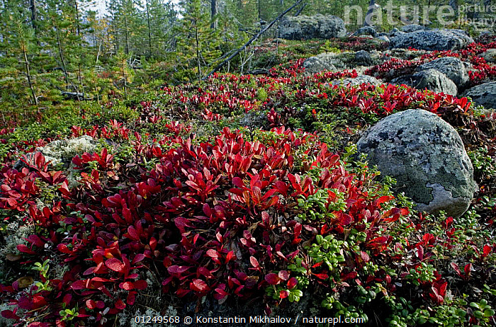Mountain bearberry {Arctostaphylos / Arctous alpinus} and Cowberry {Vaccinium vitisidea} on trundra, near the White Sea, Karelia, N Russia, September 2007  ,  COLOURFUL, DICOTYLEDONS, ERICACEAE, EUROPE, LANDSCAPES, MIXED-SPECIES, PLANTS, RED, ROCKS, RUSSIA, TUNDRA  ,  Konstantin Mikhailov