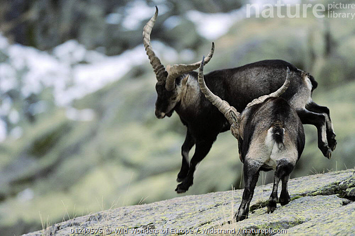 Two male Spanish ibex (Capra pyrenaica) fighting, Sierra de Gredos, Spain, November 2008  ,  ARTIODACTYLA,BEHAVIOUR,BOVIDS,EUROPE,FIGHTING,GOATS,MALES,MAMMALS,SPAIN,STAFFAN WIDSTRAND,VERTEBRATES,WWE,Aggression,Concepts,Antelopes  ,  Wild Wonders of Europe / Widstrand