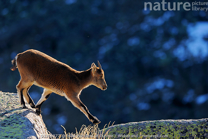 RF- Female Spanish ibex (Capra pyrenaica) crossing rocks, Sierra de Gredos, Spain. November. (This image may be licensed either as rights managed or royalty free.)  ,  ARTIODACTYLA,backlit,BOVIDS,EUROPE,GOATS,MAMMALS,PROFILE,ROCKS,SPAIN,Staffan-Widstrand,VERTEBRATES,WWE RF16Q4,CAPRA PYRENAICA,Animal,Vertebrate,Mammal,Bovid,Goat,Iberian Wild Goat,Animalia,Animal,Wildlife,Vertebrate,Mammalia,Mammal,Artiodactyla,Even-toed ungulates,Bovidae,Bovid,ruminantia,Ruminant,Capra,Goat,Wild goats,Capra pyrenaica,Iberian Wild Goat,Pyrenean Ibex,Spanish Ibex,Crossing,Walking,Caution,Cautious,Focus,Direction,On The Move,Nobody,Europe,Southern Europe,Spain,Castile and Leon,Avila,Profile,Side View,Back Lit,Female animal,Rock,Day,Nature,Wild,Negative space,Moving,Careful,Purpose,Focused,Sierra de Gredos,RF,Royalty free,RFCAT1,RF16Q4,  ,  Wild  Wonders of Europe / Widstrand