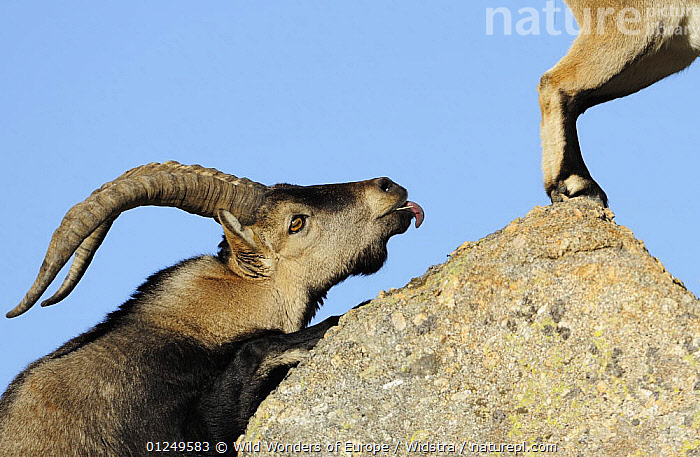 Male Spanish ibex (Capra pyrenaica) scenting air behind female with tongue, Sierra de Gredos, Spain, November 2008  ,  ARTIODACTYLA,BEHAVIOUR,BOVIDS,COURTSHIP,EUROPE,FLEHMEN,GOATS,MALE FEMALE PAIR,MAMMALS,MATING BEHAVIOUR,ROCKS,SPAIN,STAFFAN WIDSTRAND,TONGUES,VERTEBRATES,WWE,Reproduction  ,  Wild Wonders of Europe / Widstra