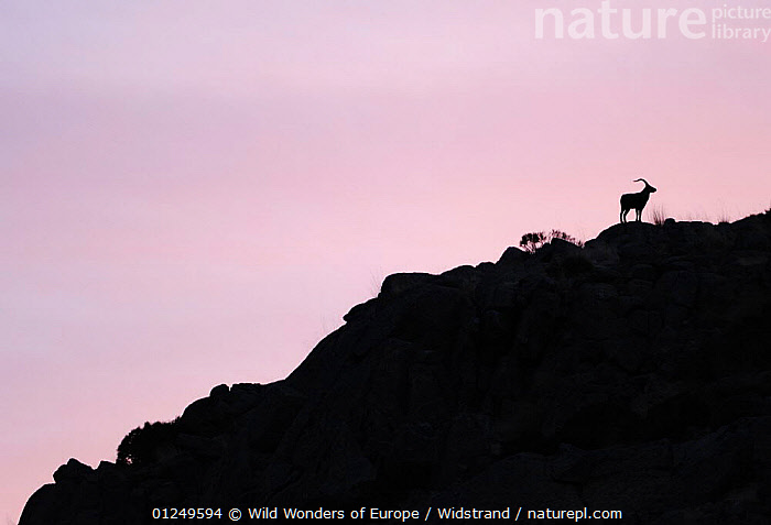Male Spanish ibex (Capra pyrenaica) silhouetted on rocks at sunrise, Sierra de Gredos, Spain, November 2008  ,  ARTIODACTYLA,BOVIDS,EUROPE,GOATS,MAMMALS,PINK,PURPLE,SILHOUETTES,SPAIN,STAFFAN WIDSTRAND,SUNRISE,VERTEBRATES,WWE,Antelopes  ,  Wild Wonders of Europe / Widstrand