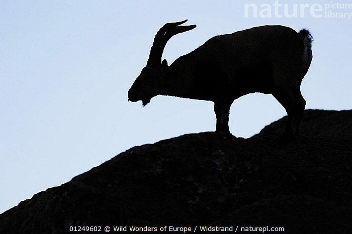 Male Spanish ibex (Capra pyrenaica) scenting air with tongue, silhouetted, Sierra de Gredos, Spain, November 2008  ,  ARTIODACTYLA,BEHAVIOUR,BOVIDS,EUROPE,GOATS,MALES,MAMMALS,MATING BEHAVIOUR,SILHOUETTES,SPAIN,STAFFAN WIDSTRAND,VERTEBRATES,WWE,Reproduction,Antelopes  ,  Wild Wonders of Europe / Widstrand