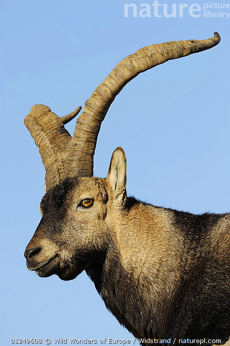 Male Spanish ibex (Capra pyrenaica) Sierra de Gredos, Spain, November 2008  ,  ARTIODACTYLA,BOVIDS,CUTOUT,EUROPE,GOATS,MALES,MAMMALS,SPAIN,STAFFAN WIDSTRAND,VERTEBRATES,VERTICAL,WWE,Antelopes  ,  Wild Wonders of Europe / Widstrand