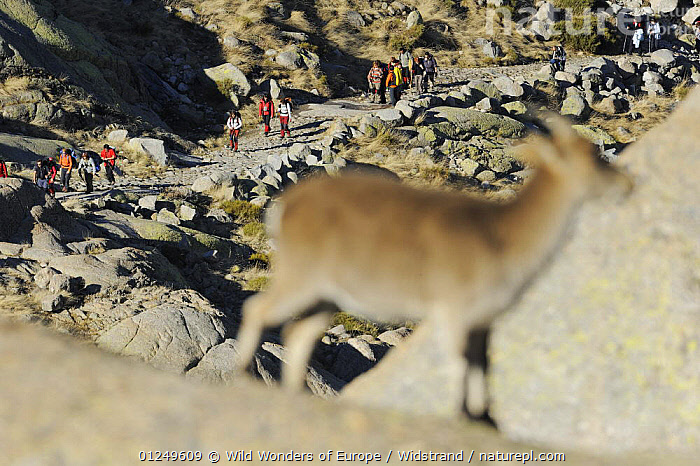 Hikers in the distance with an out of focus female Spanish ibex (Capra pyrenaica) in the foreground, Sierra de Gredos, Spain, November 2008  ,  ARTIODACTYLA,BOVIDS,EUROPE,FEMALES,GOATS,GROUPS,LANDSCAPES,LEISURE,MAMMALS,MOUNTAINS,PATHS,PEOPLE,ROCKS,SPAIN,STAFFAN WIDSTRAND,VERTEBRATES,WALKING,WWE,Antelopes  ,  Wild Wonders of Europe / Widstrand