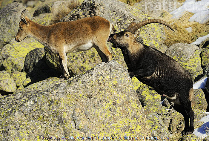 Male Spanish ibex (Capra pyrenaica) scenting air behind female with tongue, Sierra de Gredos, Spain, November 2008  ,  ARTIODACTYLA,BEHAVIOUR,BOVIDS,COURTSHIP,EUROPE,FLEHMEN,GOATS,MALE FEMALE PAIR,MAMMALS,MATING BEHAVIOUR,ROCKS,SPAIN,STAFFAN WIDSTRAND,VERTEBRATES,WWE,Reproduction,Antelopes  ,  Wild Wonders of Europe / Widstrand