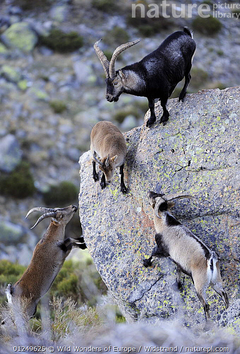 Three male Spanish ibex (Capra pyrenaica) surrounding a female, Sierra de Gredos, Spain, November 2008  ,  ARTIODACTYLA,BOVIDS,COMPETITION,EUROPE,FEMALES,FOUR,GOATS,GROUPS,MALES,MAMMALS,MATING BEHAVIOUR,ROCKS,SPAIN,STAFFAN WIDSTRAND,VERTEBRATES,VERTICAL,WWE,Reproduction,Antelopes  ,  Wild Wonders of Europe / Widstrand