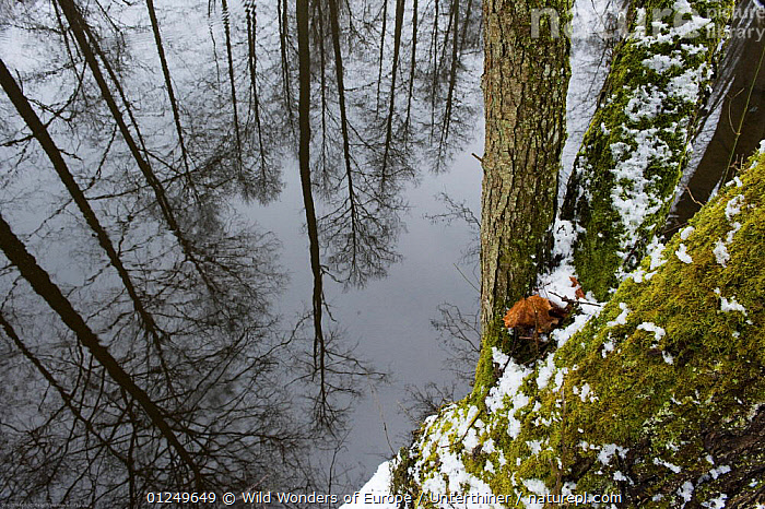 Trees reflected in water, Bialowieza NP, Poland, February 2009  ,  EASTERN EUROPE,EUROPE,FORESTS,LANDSCAPES,NP,POLAND,REFLECTIONS,RESERVE,SNOW,STEFANO UNTERTHINER,TREES,WATER,WOODLANDS,WWE,National Park,PLANTS  ,  Wild Wonders of Europe / Unterthiner