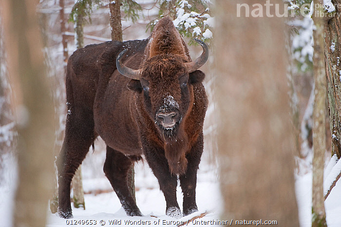 European bison (Bison bonasus) amongst trees in snow, Bialowieza NP, Poland, February 2009  ,  ARTIODACTYLA,BOVIDS,BUFFALOS,EASTERN EUROPE,ENDANGERED,EUROPE,MAMMALS,NP,POLAND,RESERVE,SNOW,Stefano Unterthiner,TREES,TRUNKS,VERTEBRATES,WOODLANDS,WWE,National Park,PLANTS,Cattle  ,  Wild Wonders of Europe / Unterthiner
