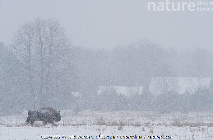 European bison (Bison bonasus) walking through a field in snow, Bialowieza NP, Poland, February 2009  ,  AGRICULTURE,ARTIODACTYLA,BOVIDS,BUFFALOS,BUILDINGS,EASTERN EUROPE,ENDANGERED,EUROPE,LANDSCAPES,MAMMALS,NP,POLAND,RESERVE,SNOW,snowing,Stefano Unterthiner,TREES,VERTEBRATES,WOODLANDS,WWE,National Park,PLANTS,Cattle  ,  Wild Wonders of Europe / Unterthiner