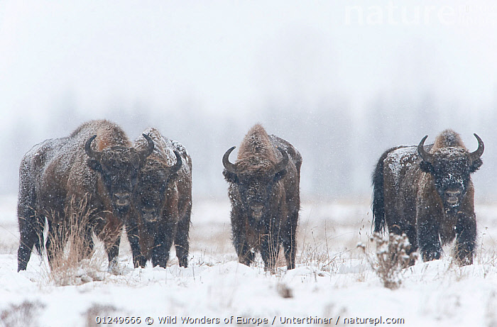 Four European bison (Bison bonasus) in agricultural field, Bialowieza NP, Poland, February 2009  ,  ARTIODACTYLA,BOVIDS,BUFFALOS,EASTERN EUROPE,ENDANGERED,EUROPE,GROUPS,MAMMALS,NP,POLAND,RESERVE,SNOW,Stefano Unterthiner,VERTEBRATES,WWE,National Park,Cattle  ,  Wild Wonders of Europe / Unterthiner