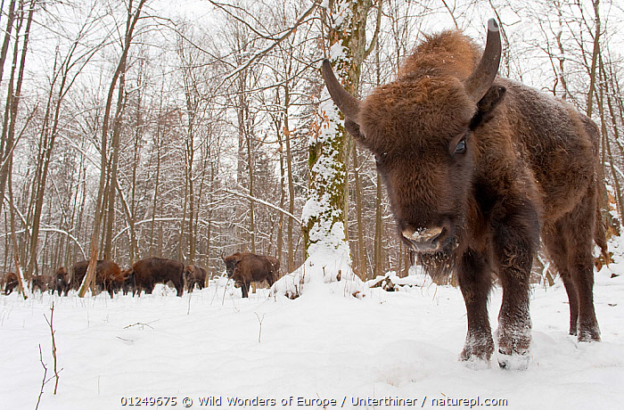 European bison (Bison bonasus) by winter feeding area, Bialowieza forest, Poland, February 2009  ,  ARTIODACTYLA,BOVIDS,BUFFALOS,EASTERN EUROPE,ENDANGERED,EUROPE,FEEDING,GROUPS,Herds,MAMMALS,NP,POLAND,PORTRAITS,RESERVE,SNOW,Stefano Unterthiner,TREES,VERTEBRATES,WOODLANDS,WWE,National Park,PLANTS,Cattle  ,  Wild Wonders of Europe / Unterthiner