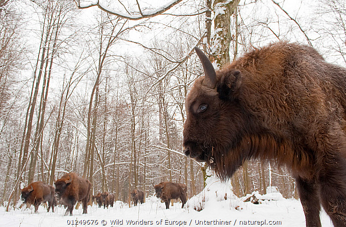 European bison (Bison bonasus) gathering at winter feeding site, Bialowieza NP, Poland, February 2009. WWE BOOK. WWE INDOOR EXHIBITION  ,  ARTIODACTYLA,BOVIDS,BUFFALOS,EASTERN EUROPE,ENDANGERED,EUROPE,GROUPS,MAMMALS,NP,POLAND,RESERVE,SNOW,Stefano Unterthiner,TREES,VERTEBRATES,WOODLANDS,WWE,National Park,PLANTS,Cattle  ,  Wild Wonders of Europe / Unterthiner