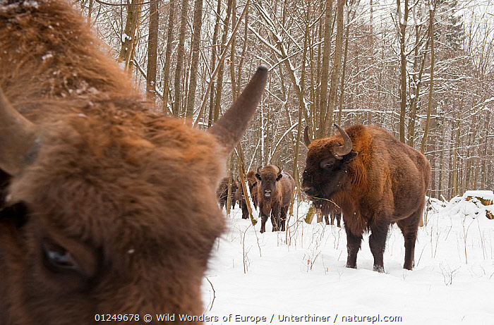 European bison (Bison bonasus) gathering at feeding site, Bialowieza NP, Poland, February 2009  ,  ARTIODACTYLA,BOVIDS,BUFFALOS,EASTERN EUROPE,ENDANGERED,EUROPE,FORESTS,GROUPS,MAMMALS,NP,POLAND,RESERVE,SNOW,Stefano Unterthiner,TREES,VERTEBRATES,WOODLANDS,WWE,National Park,PLANTS,Cattle  ,  Wild Wonders of Europe / Unterthiner