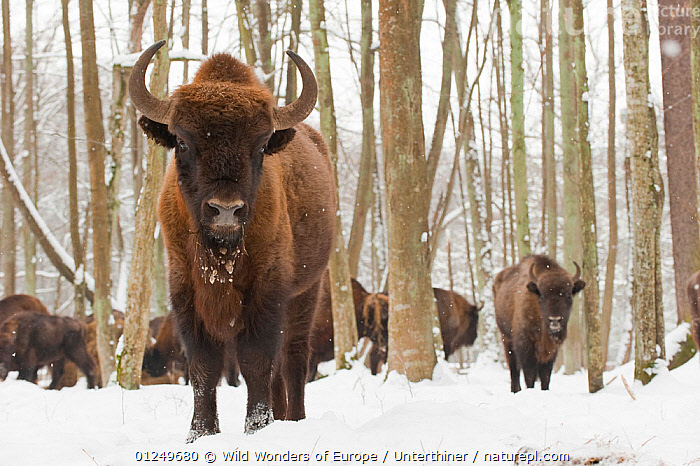 European bison (Bison bonasus) at winter feeding site, Bialowieza NP, Poland, February 2009  ,  ARTIODACTYLA,BOVIDS,BUFFALOS,EASTERN EUROPE,ENDANGERED,EUROPE,FORESTS,GROUPS,MAMMALS,NP,POLAND,RESERVE,SNOW,Stefano Unterthiner,TREES,VERTEBRATES,WOODLANDS,WWE,National Park,PLANTS,Cattle  ,  Wild Wonders of Europe / Unterthiner