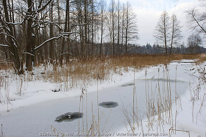 Frozen river with small unfrozen patches, Bialowieza NP, Poland, February 2009  ,  EASTERN EUROPE,EUROPE,ICE,LANDSCAPES,NP,POLAND,RESERVE,RIVERS,SNOW,STEFANO UNTERTHINER,TREES,WOODLANDS,WWE,National Park,PLANTS  ,  Wild Wonders of Europe / Unterthiner