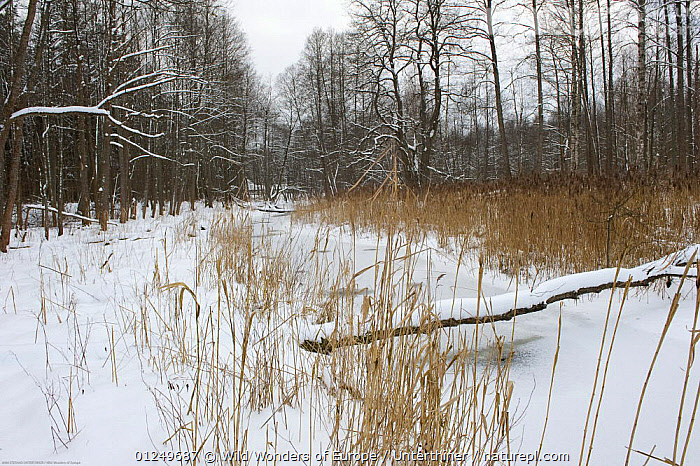 Frozen river, Bialowieza NP, Poland, February 2009  ,  ARTIODACTYLA,BOVIDS,BUFFALOS,EASTERN EUROPE,ENDANGERED,EUROPE,ICE,LANDSCAPES,MAMMALS,NP,POLAND,RESERVE,RIVERS,SNOW,STEFANO UNTERTHINER,TREES,VERTEBRATES,WOODLANDS,WWE,National Park,PLANTS,Cattle  ,  Wild Wonders of Europe / Unterthiner