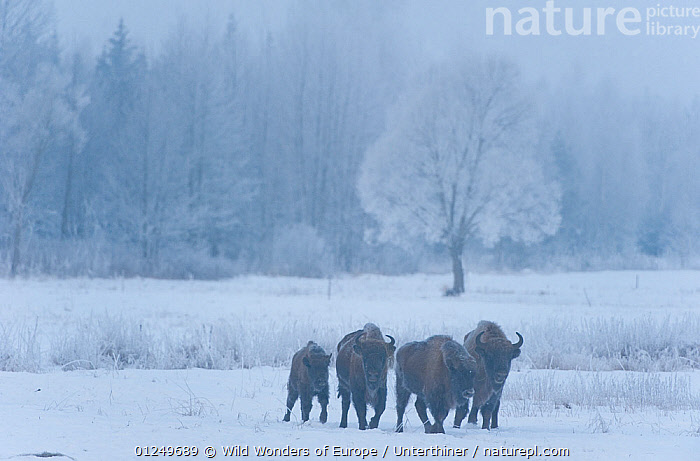 Four European bison (Bison bonasus) walking through agricultural field, Bialowieza NP, Poland, February 2009  ,  ARTIODACTYLA,BOVIDS,BUFFALOS,EASTERN EUROPE,ENDANGERED,EUROPE,FAMILIES,GROUPS,JUVENILE,MAMMALS,NP,POLAND,RESERVE,SNOW,Stefano Unterthiner,VERTEBRATES,WOODLANDS,WWE,National Park,Cattle  ,  Wild Wonders of Europe / Unterthiner