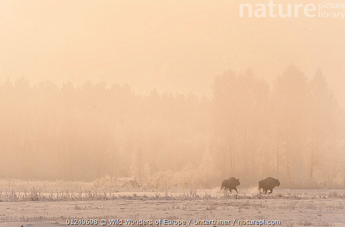 Two European bison (Bison bonasus) chasing each other in an agricultural field, Bialowieza NP, Poland, February 2009  ,  ARTIODACTYLA,BEHAVIOUR,BOVIDS,BUFFALOS,EASTERN EUROPE,ENDANGERED,EUROPE,MAMMALS,MIST,NP,POLAND,RESERVE,RUNNING,SNOW,Stefano Unterthiner,TREES,VERTEBRATES,WWE,National Park,PLANTS,Cattle  ,  Wild Wonders of Europe / Unterthiner