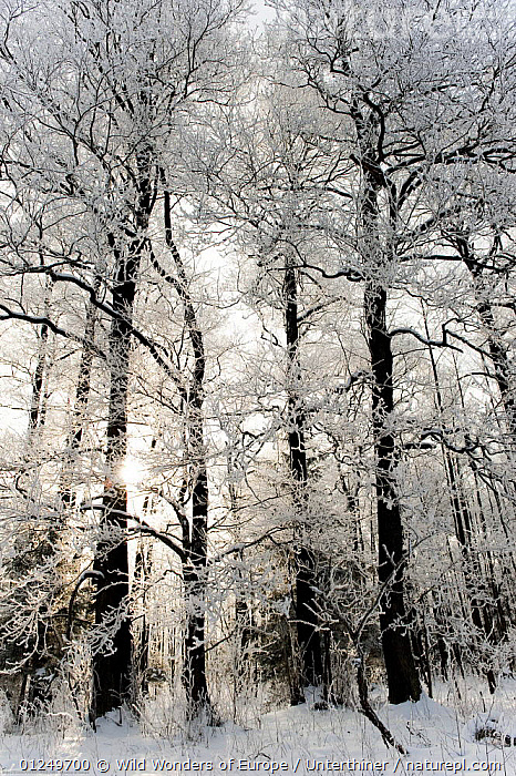 Snow covered trees, Bialowieza NP, Poland, February 2009  ,  EASTERN EUROPE,EUROPE,NP,POLAND,RESERVE,SNOW,STEFANO UNTERTHINER,TREES,VERTICAL,WOODLANDS,WWE,National Park,PLANTS  ,  Wild Wonders of Europe / Unterthiner